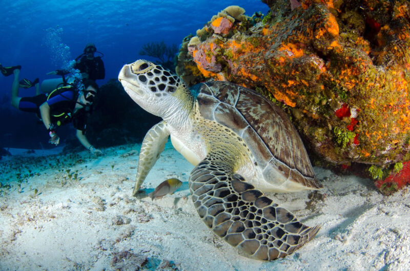 Maui turtles at home